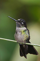 Magnificent Hummingbird, Eugenes fulgens, male perched, Central Valley, Costa Rica, Central America, December 2006