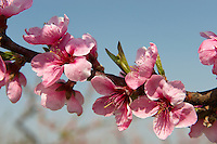 Stock Photos of  pink apricot  blossom in an apricot tree orchard