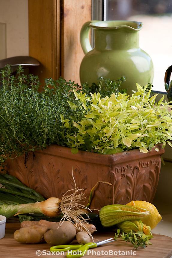 Terra cotta herb container of golden oregano (oreganum 'aureum') and thyme (thymus) by a window in kitchen