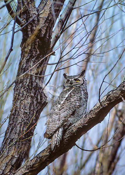 Great Horned Owl (Bubo virginianus) perched in cottonwood tree. Eastern  Oregon.  March.