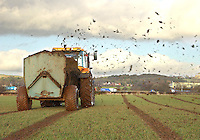 Spreading farmyard manure from the beef cattle and dairy replacements on Phillip Robinson's Hungerford Farm, Madeley, on the Cheshire / Staffordshire border. The field is dry, complyng with  DEFRA regulations which forbids spreading on fields with standing water which took effect on January 1st.