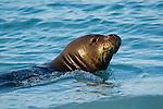 Hawaiian Monk Seal (Monachus schauinslandi) swimming at surface, Midway Atoll, Hawaiian Leeward Islands, Hawaii