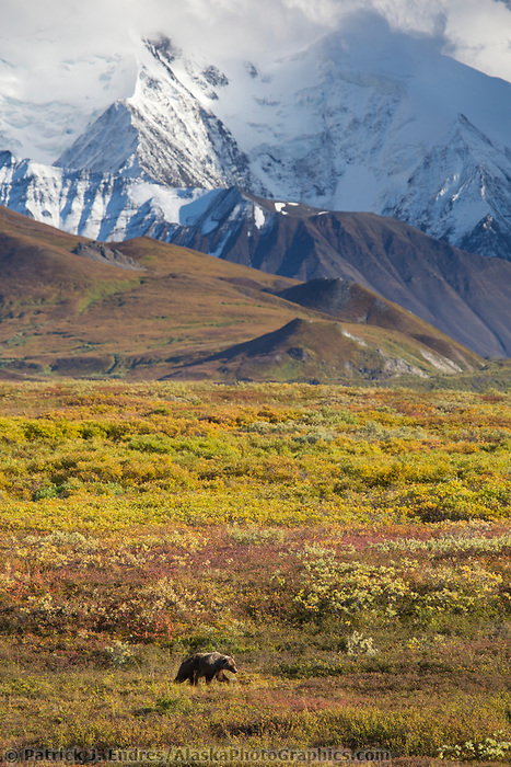Grizzly bear forages on blueberries in the autumn tundra beneath the Alaska Range mountains, Denali National Park, Alaska.