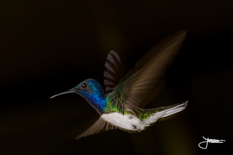 #White-necked Jacobin, #Hummingbird