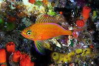 DEEPWATER ANTHIAS  Holanthias fuscipinnis  HAWAII. Fish fishes reef coral Hawaiian vertebrate Deepwater anthias endemic Holanthias fuscipinnis  Hawaii rare uncommon underwater marine