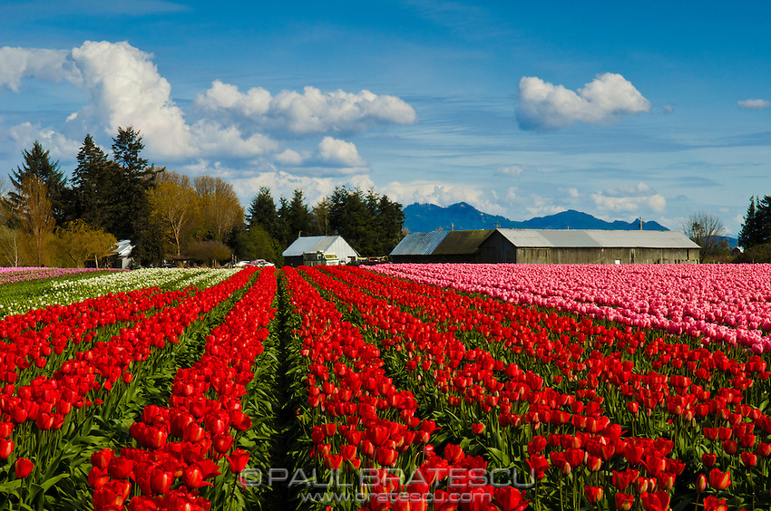 Skagit Valley Tulips, Washigton