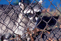 Wild Raccoon (Procyon lotor) standing behind a Fence