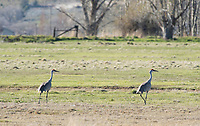 Two Sandhill Cranes, Grus canadensis, in a meadow at Klamath Wildlife Area, Oregon