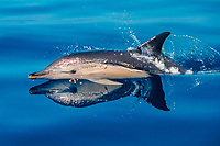 short-beaked common dolphin, Delphinus delphis, surfacing, Whakatane, New Zealand, Pacific Ocean