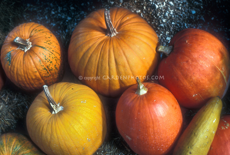 Pumpkin varieties, mixture of squash vegetable cultivar types, picked harvest crop