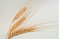 Barley, cereal grain, dried sheaf, Hordeum vulgare, grass family, harvested, sheaves on neutral background . Open Source Seed Initiative
