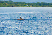 A Southern or Common Bottlenose Dolphin (Tursiops truncatus) in Dolphin Bay, Bocas del Toro, Panama