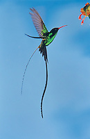 Red-billed Streamertail, Trochilus polytmus, male feeding on flower, Rocklands, Montego Bay, Jamaica, Caribbean