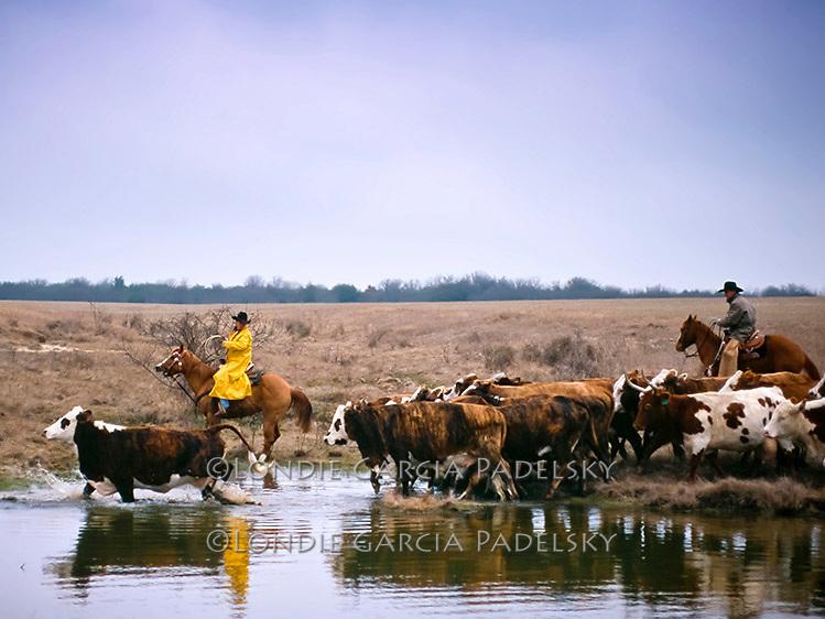 Cowboys herding cattle at lake edge. Cattle roundup in Stevensville, Texas