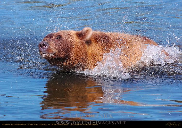 Alaskan Coastal Brown Bear, Shakeoff after Fishing, Silver Salmon Creek, Lake Clark National Park, Alaska