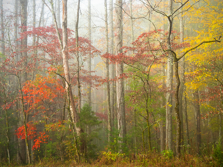 Deciduous trees in Cades Cove show their autumn colors in the Great Smoky Mountains National Park in Tennessee, USA