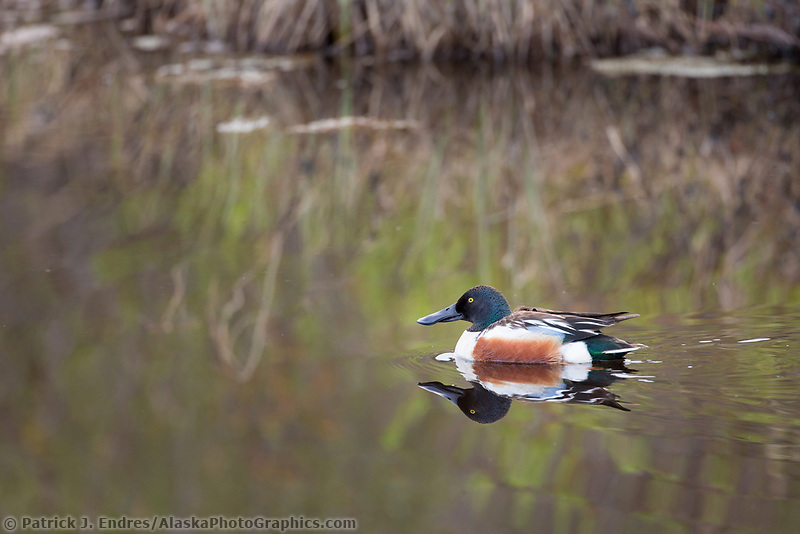 Male northern shoveler swims in a small tundra pond in Denali National park, Alaska.