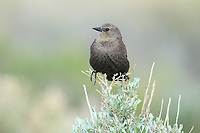 Female Brewer's Blackbird (Euphagus cyanocephalus). Sublette County, Wyoming. May.