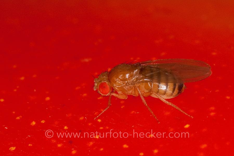 Schwarzbäuchige Fruchtfliege, Schwarzbäuchige Taufliege, Fruchtfliege, Taufliege, Kleine Essigfliege, Obstfliege, Gärfliege, Mostfliege, auf einer Tomate in der Küche, Drosophila melanogaster - Gruppe, fruit fly, vinegar fly, Essigfliegen, Obstfliegen, Drosophilidae, Taufliegen, fruit flies, pomace flies, small fruit flies, ferment flies