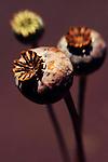 Lensbaby Poppy Macro