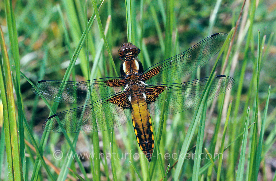 Plattbauch, junges Männchen, Plattbauch-Libelle, Plattbauchlibelle, Libellula depressa, Broad-bodied Chaser, Broadbodied Chaser, broad bodied chaser