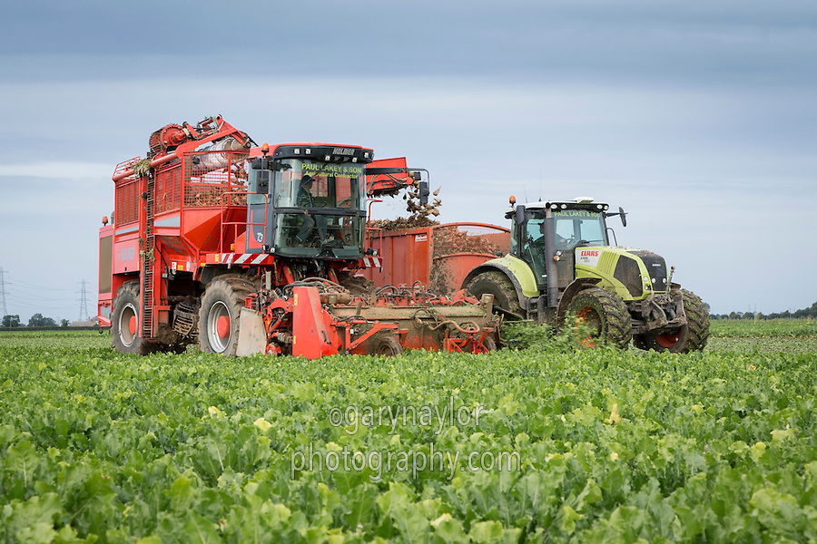 Start of the new season sugar beet harvest campaign, lifting ready for the first deliveries- 15 September - South Lincolnshire