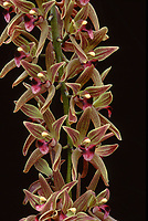 Cymbidium devonianum Orchid species