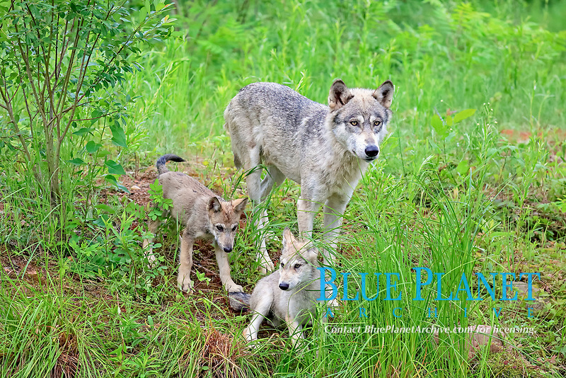 Gray wolves (Canis lupus), adult with young animals in meadow, Pine County, Minnesota, USA, North America