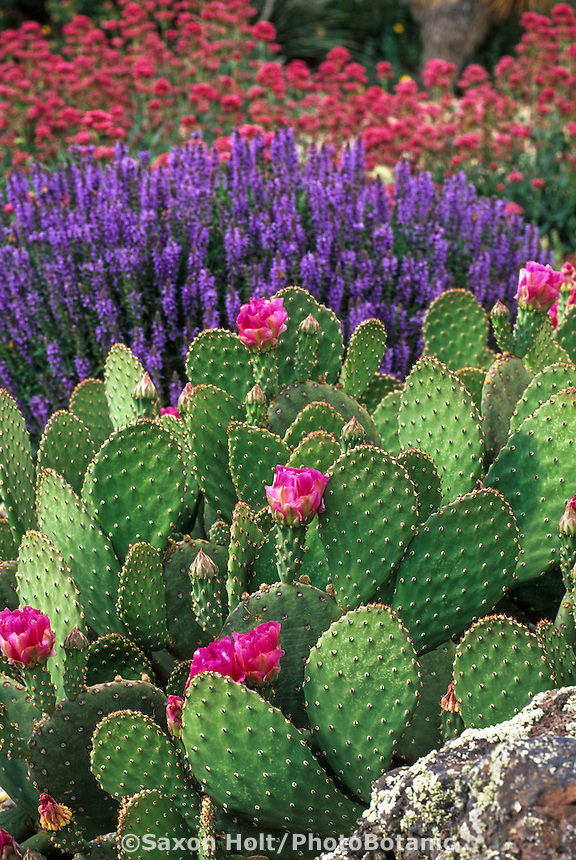 Hardy succulent, beavertail cactus, prickly pear, Opuntia aurea 'Coombe's Winterglow' flowering with Veronica and Centranthus in Denver garden