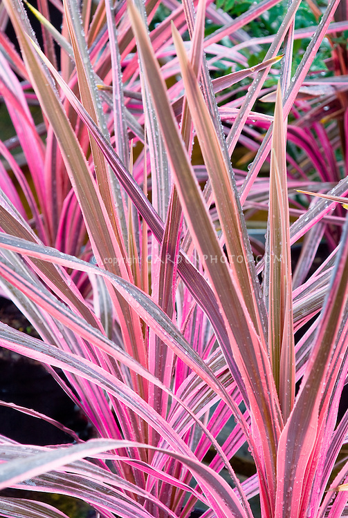 Pink & grey brown foliage spiky leaves of Cordyline 'Southern Splendor'