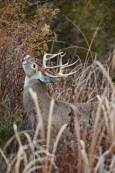 White-tailed Deer buck (Odocoileus virginianus) eating rose hips, Western U.S., Late Fall.