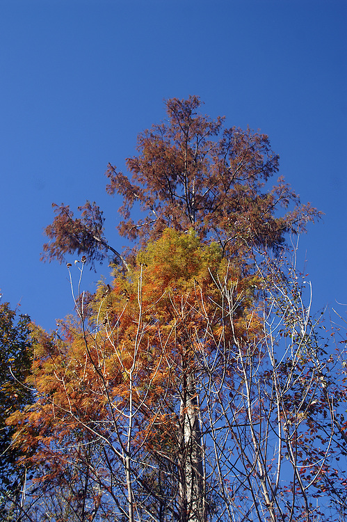 Cypress in fall colors against the sky.