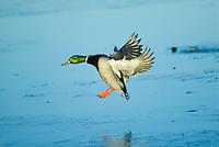 MALLARD DUCK (Anas Platyrhynchos) drake landing.  Pacific Northwest.  Winter.