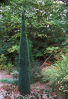 Rocky Mountain Juniper, upright Juniperus scopulorum Skyrocket, a tall and narrow evergreen in the garden, columnar thin tree bush