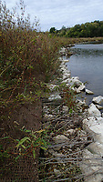 NWA Democrat-Gazette/FLIP PUTTHOFF <br />A shoreline restoration project by The Nature Conservancy has taken root. Vegetation planted on an eroding bank last winter is now three or more feet tall.