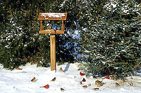00585-016.18 Backyard birds at feeder and feeding on ground in winter, Marion Co.  IL
