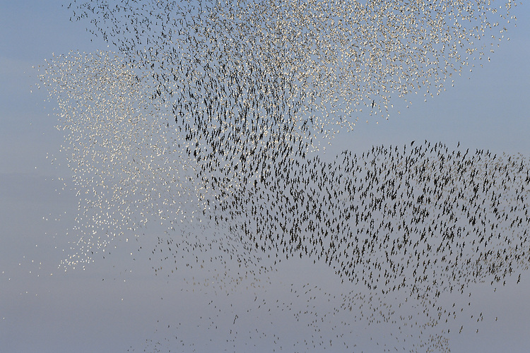 Knot - Calidris canutus - autumn flock in flight over Snettisham, Norfolk