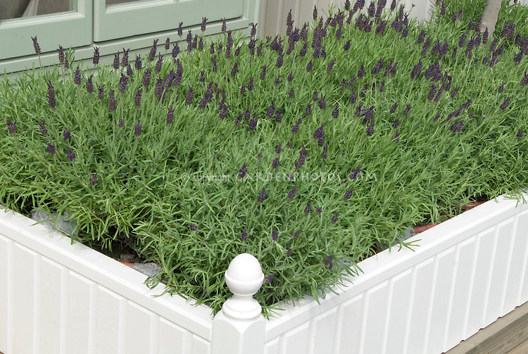 Lavender Growing and Flowering next to house window with fence edging