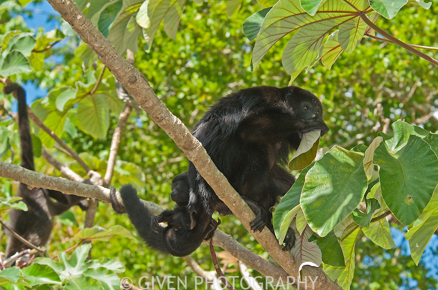 Black Howler Monkey with young, Belize