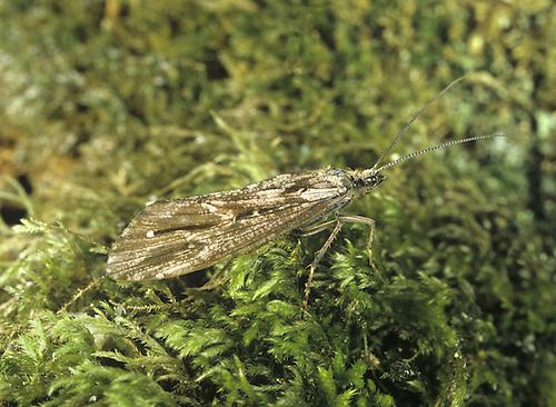 Caddis Fly - Phrygaena grandis