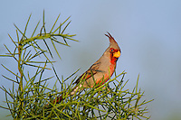 573900060 a wild male pyrrhuloxia cardinalis sinatus perches in a thornbush on dos venados ranch starr county texas united states