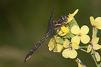 Lancet Clubtail (Gomphus exilis) Dragonfly - Female, Promised Land State Park, Greentown, Pike County, Pennsylvania