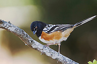 Spotted Towhee, Pipilo maculatus, male, Uvalde County, Hill Country, Texas, USA