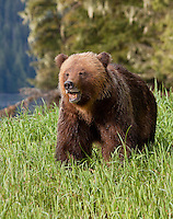 Grizzly Bear with its mouth open standing in some tall grass
