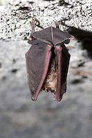 Mehely-Hufeisennase, Mehely - Hufeisennase, Rhinolophus mehelyi, Myotis mehelyi, Fledermaus schlafend in einer Höhle, Italien, Sizilien, Mehely's horseshoe bat,