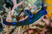 sea slug or nudibranch, Tambja morosa, Lembeh Strait, North Sulawesi, Indonesia, Pacific
