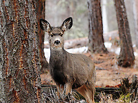 Yearling blacktail aka mule deer in a fir forest in Montana