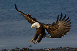 A bald eagle landing on the shore at Homer, Alaska.
