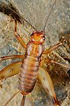Cave Cricket (Petaloptila andreinii) endemic to Italian caves, Italy.