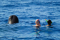 Sperm whale. (Physeter macrocephalus). Sperm whale and swimmers, both spyhopping. Caribbean.(mr)